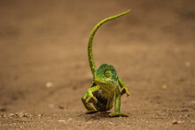 A Green Flap-necked Chameleon ...