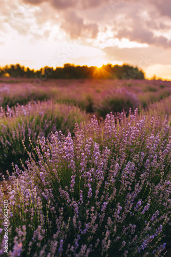 Fototapety, obrazy: Landscape of blooming lavender flower field under the gold colors of the summer sunset.