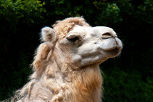 Dromadaire - Camelus Dromedarius - En Portrait