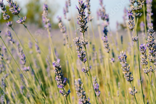 Fototapety, obrazy: A close-up of the flowering lavender bushes.