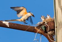 The Scissor Tailed Flycatcher ...