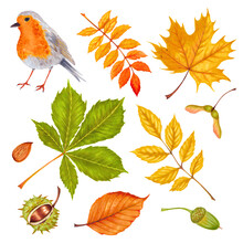 Watercolor Autumn Marker Set Colorful Leaves Of Various Trees, Nuts, Robin Bird . Isolated On White Background. Rowan Tree , Maple , Horse Chestnut , Ash , Beech And Acorn.