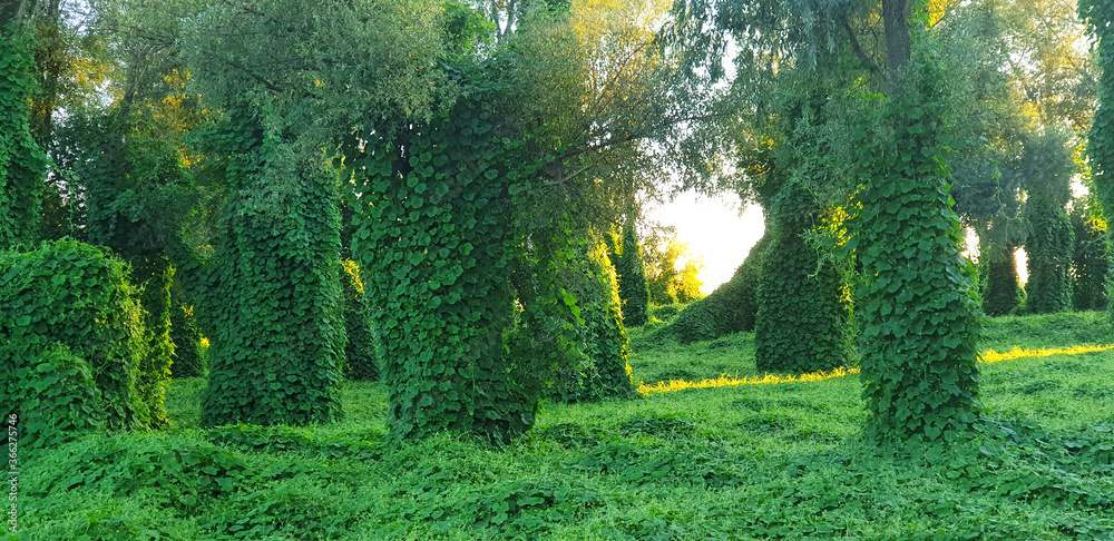 Fototapeta Forest with a climbing plant Kudzu in the sunset sunlight. Panorama.
