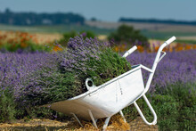 Lavender In A Wheelbarrow On A...
