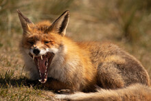 Red Fox Laying And Yawning Aft...