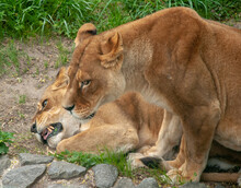 Two African Lionesses Are Laid On Stones For Rest