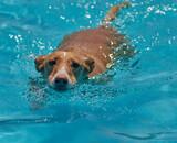 Fototapeta Kawa jest smaczna - beautiful dogs jumping and playing in the pool