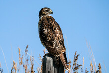 Red-tailed Hawk - Fence