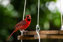 Red Cardinal At Bird Feeder, F...
