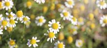 Closeup On White Daisy Like Flowers Of Roman Chamomile Plant