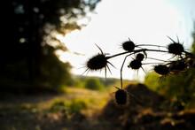 Teasel Plant Silhouette Throug...