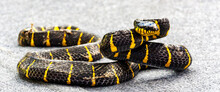 The Mangrove Cat Snake (Boiga Dendrophila) Is Only Mildly Venomous. On One Hand They Seem Very Dangerous (colours Like A Whasp) But On The Other They Are So Beautiful.