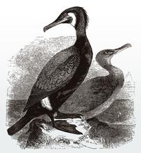 Two Great Cormorants, Phalacro...