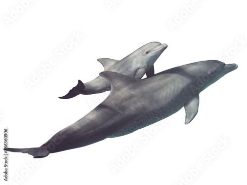 Slika na platnu Two (parent and baby) wild bottlenose dolphins isolated on white background