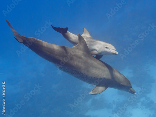 Pair (parent and child) wild bottlenose dolphins swimming in the deep blue sea n Fototapeta