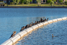 A Gulp Of Double-crested Cormorants Sun Themselves On A Boom In Arizona's Tempe Town Lake.