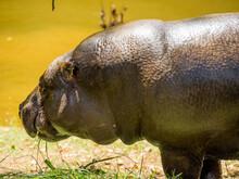 Pygmy Hippos Eating