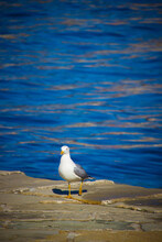 Seagull Walking On The Pier