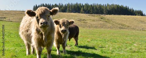 Panoramique deux jeunes taureaux de race écossaise Galloway, Haute-Loire en Auve Fototapete