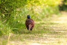 Pheasant Walking Away Along A ...