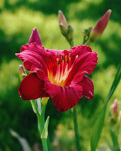 Deep Red Lily In Bloom