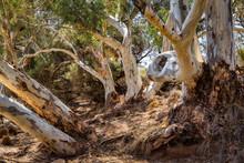 Red Gums In Flinders Range Nat...