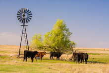 A Windmill Watering Hole For Cattle On The Range Land West Of Woodwardin The Oklahoma Panhandle.