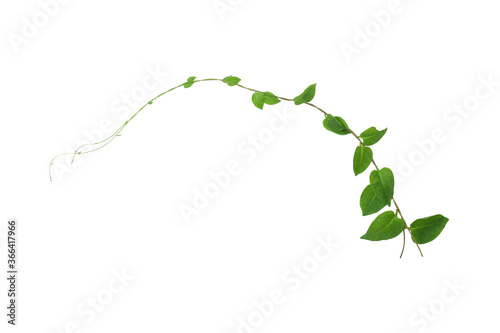 Fotografia Heart shaped green leaves climbing vines ivy of cowslip creeper (Telosma cordata) the creeper forest plant growing in wild isolated on white background, clipping path included