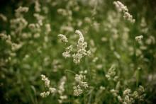 Phalaris Arundinacea Or Reed Canary Grass, Selective Focus