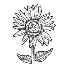 Sunflower Sketch Engraving Vector Illustration. T-shirt Apparel Print Design. Scratch Board Imitation. Black And White Hand Drawn Image.