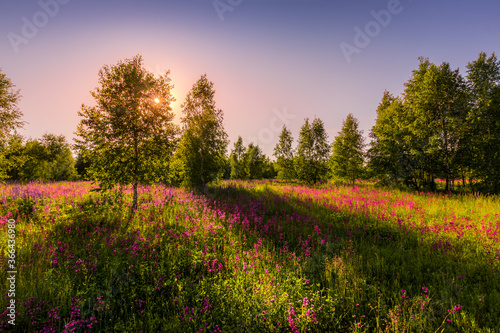 Sunset or dawn on a field with purple wild carnations and young birches in clear summer weather and a clear cloudless sky Canvas Print