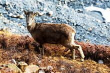 The Himalayan Tahr (Hemitragus Jemlahicus) Is A Large Even-toed Ungulate Native To The Himalayas In Southern Tibet, Northern Pakistan, Northern India And Nepal. Rocky Mountain Environment