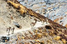 The Himalayan Tahr (Hemitragus...