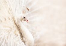 Closeup Of Beautiful White Peacock With Feather Out, Spread Tail Feathers