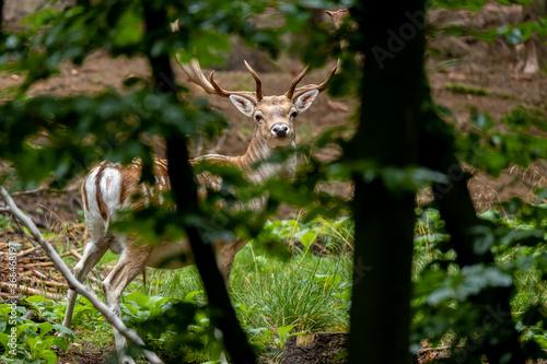 Ein Damhirsch im Wald hinter Astwerk