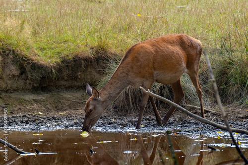 Eine Rothirschkuh an einer Wasserstelle am trinken
