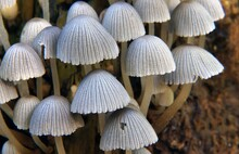 Closeup Shot Of Coprinellus Di...