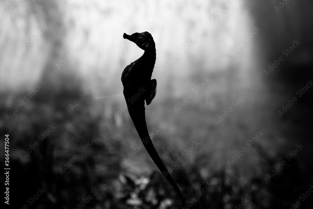 Fototapeta Seepferdchen