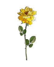Single Flower Yellow Rose On Branch With Green Leaves. Isolated On White. For Realistic Floral Design, Valentines Day Greeting Cards, Wedding Invitations. Hand Drawn. Vector Stock Illustration.