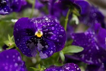 Closeup Shot Of A Pansy Flower With Water Drops On It