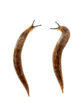 Two Semi-slugs Isolated On Whi...