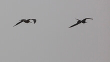 Magnificient Frigate Birds Ride The Winds Of A Storm Front As It Moves Inland From The Gulf Of Mexico