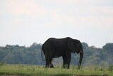 African Elephants playing by the Chobe River in Botswana