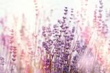Soft focus on lavender flowers, flowering lavender flowers in flower garden - 366505948