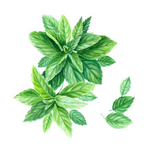 Peppermint Leaves And Branches, Watercolor Painting, On Isolated Background