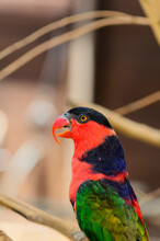 The Black-capped Lory Sitting ...
