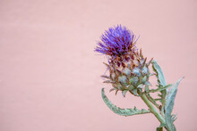 Purple Thistle Flower. One Iso...