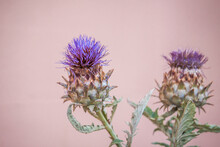 Purple Thistle Flower. Two Iso...