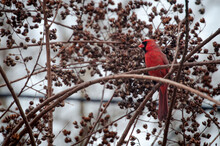 Male Cardinal In A Crepe Myrtle