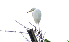 Great White Egret On Bamboo Tr...